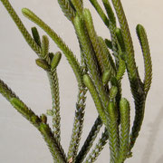 Crassula muscosa f. variegata