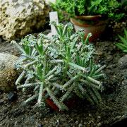 Kalanchoe delagoensis syn. tubiflora