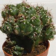 Cereus peruvianus f. monstrosus