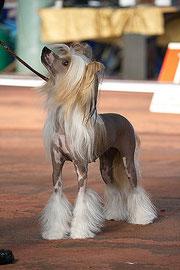 китайская хохлатая собачка Bibiana Vittoria dell Amore