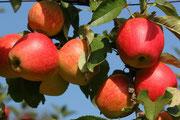 Bäume, Sträucher, Früchte,  von A-L
