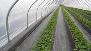 Folientunnel für Erdbeeren
