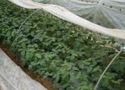 ハウストンネル栽培枝豆