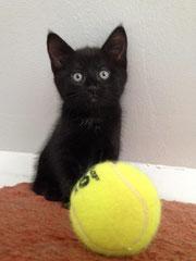 Chaton noir (3 mois) - FA Valérie