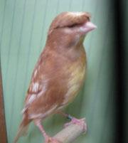 D.H. in Phaeo gelb schimmel Siegervogel Züchter: Opfolter Franz