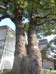 二股に分かれたクスの樹