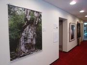 入り口には縄文スギと共に鹿島神宮の御神木の写真も飾ります