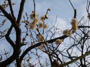 梅は1本だけ咲いています