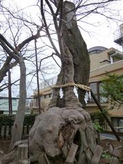 階段上のけやき 樹高14m 幹周7.2m