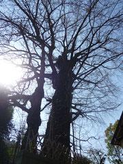 樹齢600年 樹高24,2m 幹周5,2m