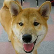 柴犬の子犬