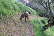 Rencontre au détour du Chemin des Jaupins : le poulain ingénu qui se cache derrière sa mère laisse dépasser sa tête.