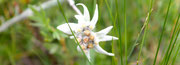 Edelweiss en Mongolie