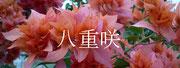 八重咲品種