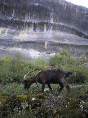 Des chèvres sur Font de Gaume