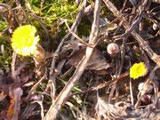 Huflattich Blüten und Knospen