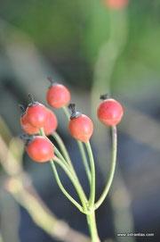 Rosa arvensis - Rosa repens - Feld-Rose - Kriechende Rose - Rosier des champs - Rosa cavallina - Wildrosen - Wildsträucher - Heckensträucher - Artenvielfalt - Ökologie - Biodiversität - Wildrose
