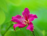Fleur de Bauhinia - arbre orchidée