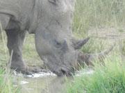 Rhino in Hluhluwe