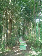 チークの森(1997年植林)に置かれた養蜂の飼育箱