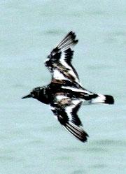 飛ぶと白い背や翼、腰の模様が目立つ冬羽のキョウジョシギ