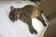 交通事故死したイリオモテヤマネコ(環境省西表野生生物保護センター提供)