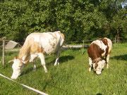 Unsere Kuh Eedelweiß und der 1-jährige Stier grasen friedlich vor dem Stall