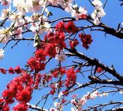 梅の花。白梅と紅梅が一本の木に咲いています。