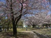 しだれ桜は、バラ科らしい。。     しらなかった