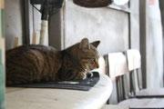 店に勝手に居座る猫            現在行方不明(捜索中)