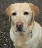 Xilia 5-jährige Labradorhündin