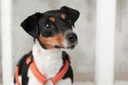 Curry 3-jährige Jack Russell Terrier Hündin