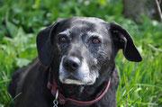 Shila 8-jährige Labradorhündin