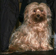 Bolonka mit standardgemäßem Fell