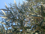 Heranreifende Oliven