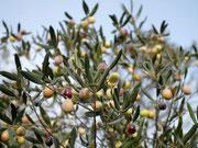 Oliven kurz vor der Ernte.