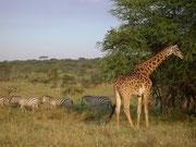 Giraffen und Zebras in der Serengeti
