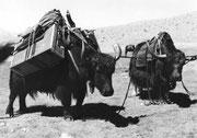 Yaks, Hochlandrinder des Himalaya. Image: www.wikipedia.at