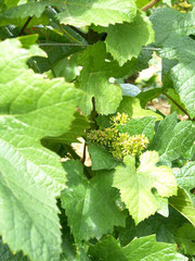 flowering of pinot noir grape variety - Vosne Romanée - 28/05/07