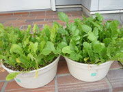 家庭菜園で育てた野菜