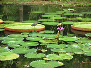 www.souslestropiks.eu @ Jardin de Pamplemousses