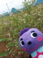 ミツバチによって受粉中のブルーベリー畑。夏に向けて実が出来ます