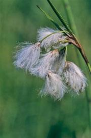 Das Wollgras kommt an einigen Stellen im südlichen Schwarzwald noch vor
