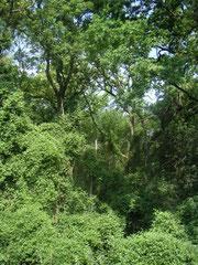 Von den einstmals großen Auwäldern am südlichen Oberrhein sind heute nur noch wenige vorhanden