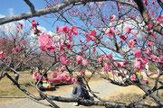 咲き始めた葵梅林の梅 岡崎市南公園で