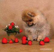 spitz puppy photo