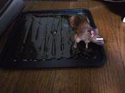 逃げられないネズミ