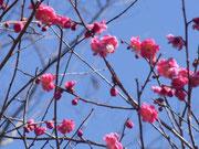 梅と桜が同時に楽しめそう。