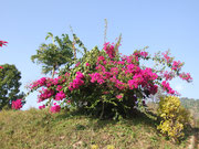 Fleurs du Langtang, Gatlang, Népal