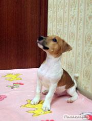 Приучение щенка к кличке